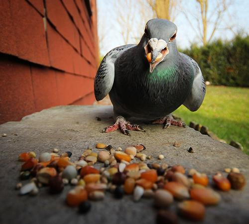 Hungry (angry?) pigeon